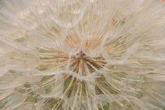 Inside of a dandelion stock photos