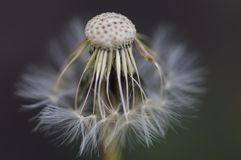 The inside of a dandelion. The close-up of a dandelion flower getting ready to spread its seeds around the field Stock Photos