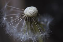 The inside of a dandelion. The close-up of a dandelion flower getting ready to spread its seeds around the field Royalty Free Stock Photo