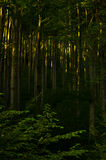 Inside dense mountain forest at sunrise Royalty Free Stock Photos