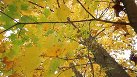 Inside fall tree canopy. Video of inside fall tree canopy stock footage