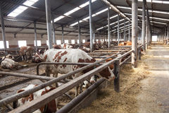 Inside the farm with cows Royalty Free Stock Photo