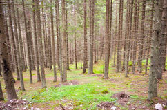 Inside fir forest Stock Photography