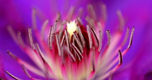 Inside of a flower. Macro shot of the inside of a purple flower Stock Photography