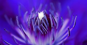Inside A Flower. Macro shot of the inside of a purple flower Stock Image