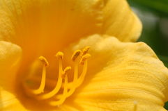 Inside a flower. Yellow flower in Illinois royalty free stock photography