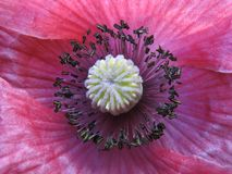 Inside a flower. Stamens of pink poppy. Macro Royalty Free Stock Photos