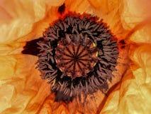 Inside Giant Papaver Poppy royalty free stock photos