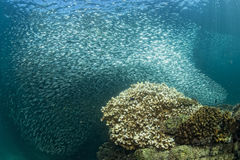 Inside a giant sardines bait ball underwater Stock Images
