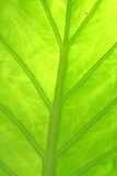 Inside A Giant Taro. A shot from underneath a bright green giant taro, or elephant ear, leaf with the sun shining through the top, revealing the details, large Royalty Free Stock Image