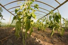 Inside greenhouse Stock Image