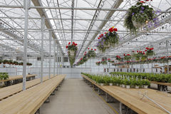 Inside a Greenhouse. Row upon row of new green growth inside a country greenhouse Royalty Free Stock Images