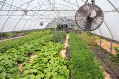 Inside the greenhouse in Summer. Summertime, fruits and vegetables get a start in a greenhouse royalty free stock image