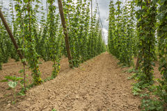 Inside a hop yard. Selective focus on the foreground. Focus on the less interesting background is soft Stock Photo