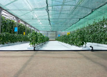 Inside Hydroponic Hothouse. Hydroponic Cultivation of Paprika and Cucumber Hothouse stock image
