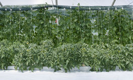 Inside Hydroponic Hothouse Stock Images