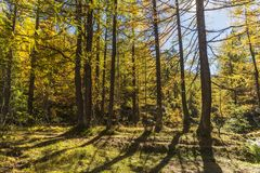 Alpe devero autumnal mountain landscape. The inside of a larches trees forest inside the Alpe Devero royalty free stock photo