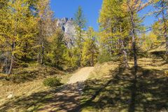 Alpe devero autumnal mountain landscape. The inside of a larches trees forest with a mountain peak in the background inside the Alpe Devero stock images
