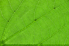 Inside of the leaf Stock Photography