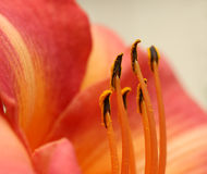 Inside of a lily Royalty Free Stock Photos