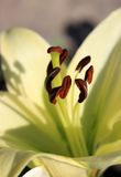 Inside a lily. Macro of pale yellow lily stamens Stock Image