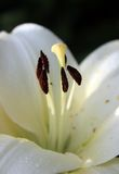 Inside a lily. Macro of white lily stamens Royalty Free Stock Photo