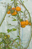 Inside little greenhouse with organic orange tomato plants with. Closeup into a little greenhouse on unripe and ripe organic orange tomatoes (« Joxaca » Royalty Free Stock Image