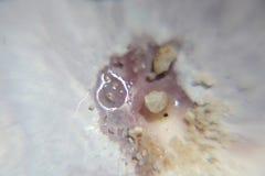 Inside milczka Shell ekstremum zakończenie Obraz Stock