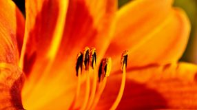 Inside an orange Lily Royalty Free Stock Photos