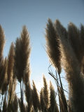 Inside Pampas Grass. With the sun in the background Royalty Free Stock Photos