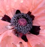 Inside the poppy Royalty Free Stock Images
