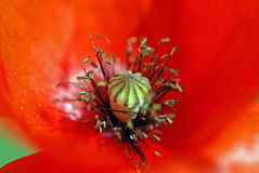 Inside the poppy Royalty Free Stock Image