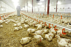 Inside A Poultry Farm Stock Photography