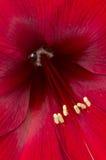 Inside a Red Azalea Flower Stock Photos