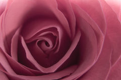 Inside the rose Royalty Free Stock Photo