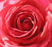 Inside a scarlet rose. Background Royalty Free Stock Photography