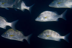 Inside a school of fish underwater Stock Photography
