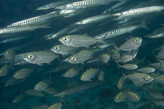 Inside a school of fish underwater. Inside a barracuda and tuna school of fish close up in the deep blue sea Royalty Free Stock Photography