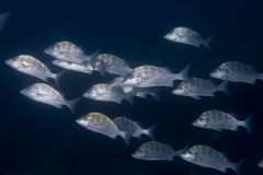 Inside a school of fish underwater Royalty Free Stock Image
