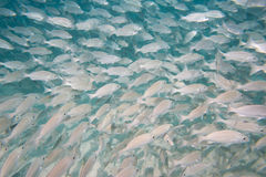 Inside a school of fish underwater Royalty Free Stock Photography