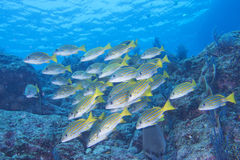 Inside a school of fish underwater Royalty Free Stock Images