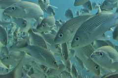 Inside a school of fish underwater Royalty Free Stock Photo