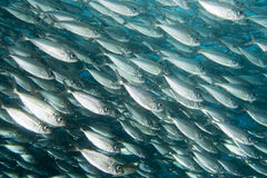 Inside a school of fish underwater Stock Image