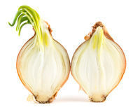 Inside of sprouted onion Royalty Free Stock Images