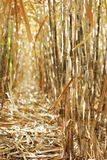 Inside sugar cane row Royalty Free Stock Photography