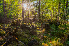 Inside summer mixed  Karelian forest. High-contrast backlit scene Royalty Free Stock Photography