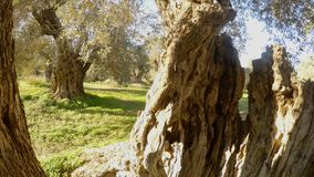 From inside the trunk of an ancient olive tree a winter garden is seen in the warm regions. Ancient Olive Trees, a collection of landscapes in an old olive stock video footage