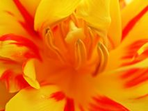 Inside tulip 1. Macro of tulip royalty free stock photo