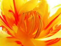 Inside tulip 2. Macro of tulip royalty free stock image