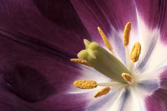 Inside the Tulip Royalty Free Stock Photography